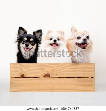group of bright brown color hair chihuahua and friend dog sit relax together studio shot on white background