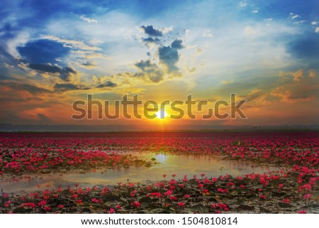 Picture of beautiful lotus flower field at the red lotus Panorama View at sunrise