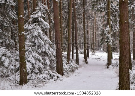 Snowy trail in a coniferous forest #1504852328