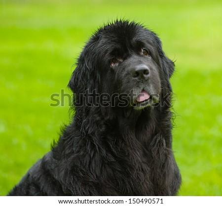 Newfoundland dog looking at camera #150490571