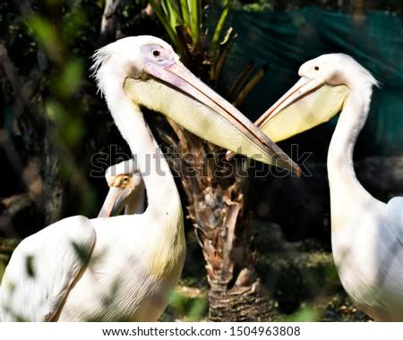 Beautifully lit picture of opposite facing pelican birds.  #1504963808