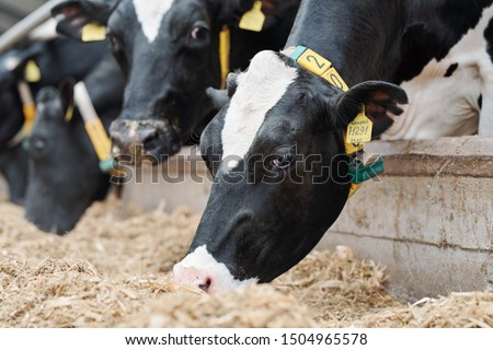 Group of black-and-white milk cows eatin fresh hay while standing in row behind fence in modern barn #1504965578