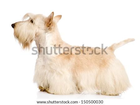 Scottish Terrier isolated on white background #150500030