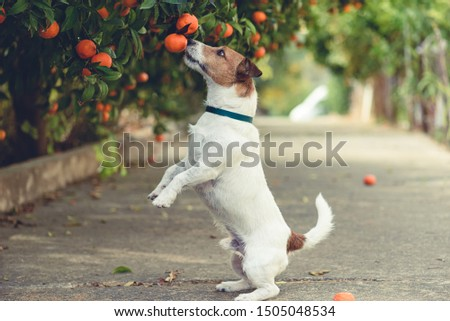 Dog fond of tangerines trying to steal low hanging fruit from tree branch Royalty-Free Stock Photo #1505048534