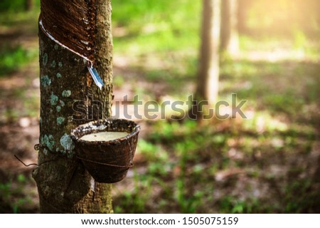 Tapping latex rubber tree, Rubber Latex extracted from rubber tree, harvest in Thailand. #1505075159