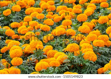 Marigolds shades of yellow and orange, Floral background (Tagetes erecta, Mexican marigold, Aztec marigold, African marigold). #1505149823