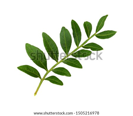 Twig with green leaves isolated on white #1505216978