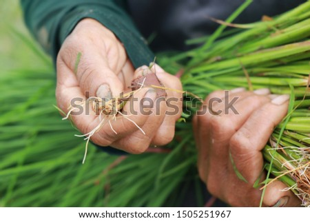 The hands of the farmer are very valuable, so we have rice to eat today #1505251967
