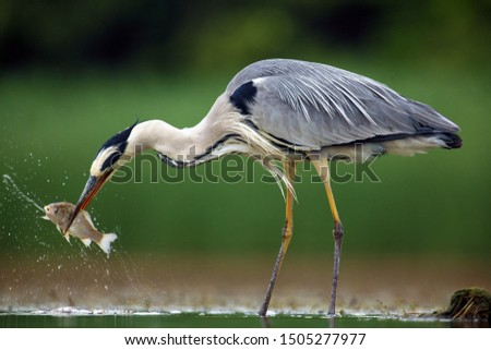 The grey heron (Ardea cinerea) standing and fishing in the water. Big heron with fish with green backround. Heron hunting, water drops dripping from fish. #1505277977