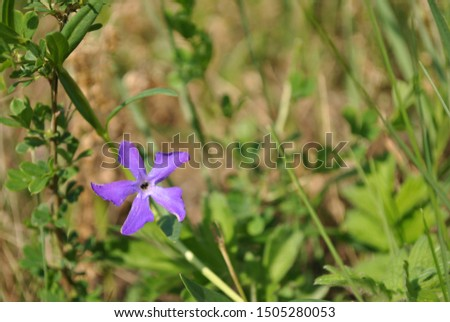 Vinca major (bigleaf periwinkle, large periwinkle, greater periwinkle, blue periwinkle) flower, grassand background, close up detail #1505280053
