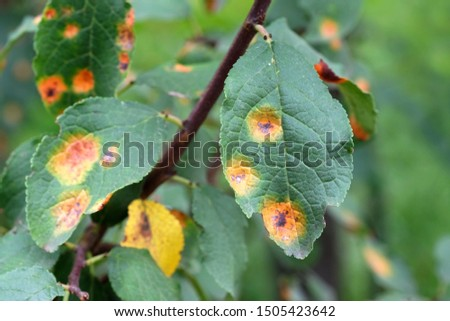 Apple tree branch with green leaves affected by a fungal disease rust. A branch of a rusted apple tree. Pest control and protection of gardens from diseases. #1505423642