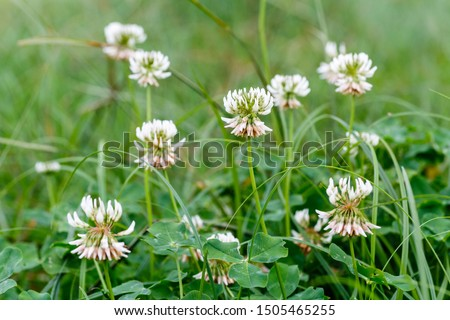 White clover flowers among the grass. Trifolium repens.