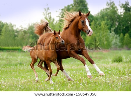 arab mare and foal #150549050