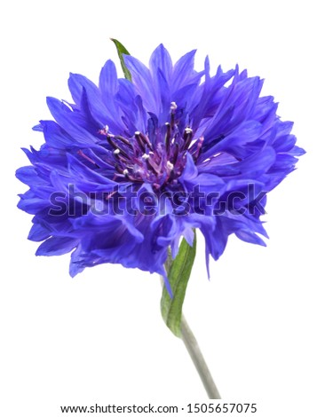 Blue cornflower (Cyanus segetum) isolated on white background #1505657075
