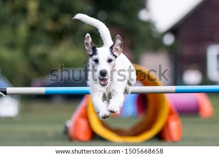 Purebred active black and white parson russel terrier running dog agility course with full attention and crazy speed.Fast working winner champion jumping finish jump on outside agility competition  Royalty-Free Stock Photo #1505668658