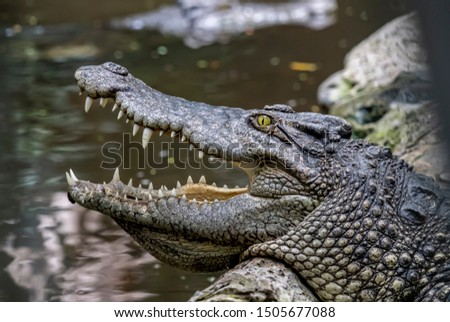 Freshwater crocodile (Siamese crocodile) portrait showing eye, ear and teeth with stream or river background. Head of freshwater crocodile (Crocodylus johnsoni) with open mouth  resting in a rock. #1505677088