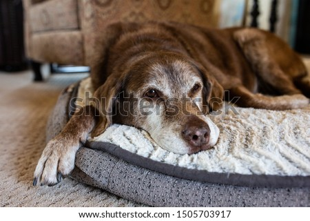 Old dog comfortable on dog bed #1505703917