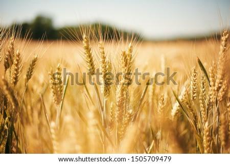 Golden wheat field in Provins, France #1505709479