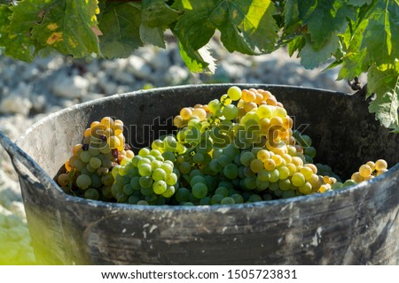 New harvest of ripe white grape growing in vineyard in Andalusia, Spain, sweet pedro ximenes or muscat, or palomino grape, used for production of jerez, sherry sweet and dry wines #1505723831