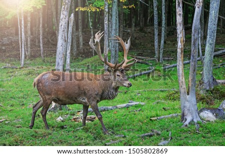 Red deer stag in rutting season. Buck at maturity age in the period of crossing with the female. Portrait of noble deer male in the wild landscape. Hunting period of the cervus in Canadian forest.