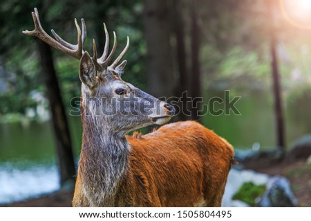 Red deer on alert look for hunters. Portrait of noble buck male in the wild landscape. Deer at maturity age in the period of crossing with the female. Hunting period of the cervus in american forest.