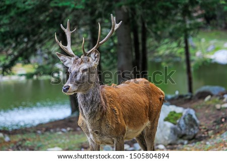 Portrait of noble buck male in the wild landscape. Red deer on alert look for hunters. Deer at maturity age in the period of crossing with the female. Hunting period of the cervus in Canadian forest.