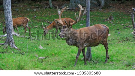 Buck at maturity age in the period of crossing with the female. Portrait of noble deer male in the wild landscape. Red deer on alert look for hunters. Hunting period of the cervus in american forest.