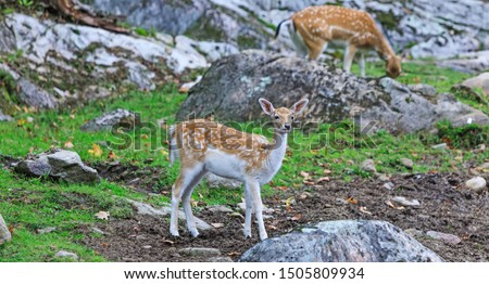 Bambi deer in wildlife background. Young cute bambys in a natural field. Beautiful baby deer in alert. Little fawn looking for hunts.