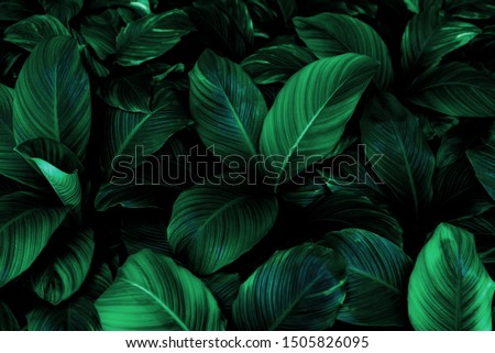 Spathiphyllum cannifolium leaf concept, dark green abstract texture, natural background, tropical leaves in Asia and Thailand #1505826095