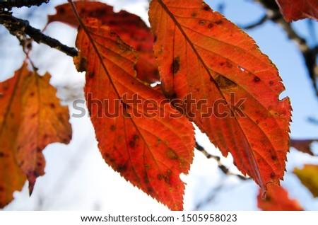 winter leaves, orange, blue sky #1505958023