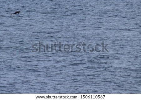 Dolphin jumping in the ocean. Pacific white-sided dolphin Lagenorhynchus obliquidens in natural habitat. Marine mammal in Norht Pacific ocean. Design template, background, copy space for text. #1506110567