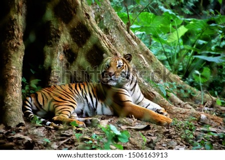 abstract picture of tiger in laos forest,tiger relaxting on sunny day in green forest,for business, wallpaper,education concept,.cute kids cat for greeting