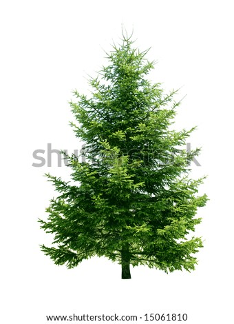 Pine tree isolated on white background #15061810