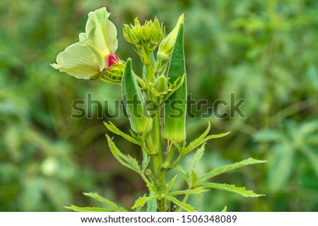 Close up of  fresh Bhindi, Lady Fingers,Okra green vegetable Abelmoschus Esculentus  with flowers  growing in the farm against green background in selective focus from Kutch ,Gujarat ,India ,Asia
