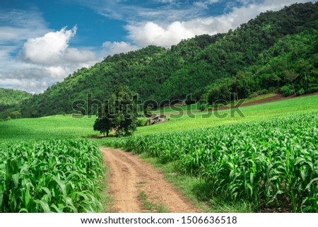 soil paths flanked by green growing corn field on hill #1506636518