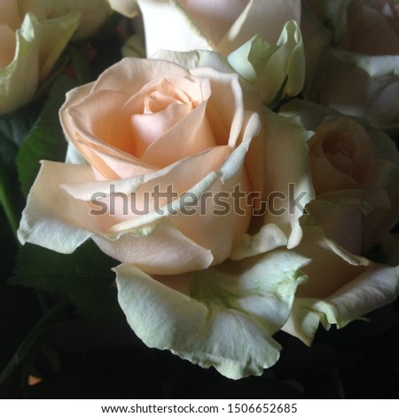 Photo flower bud of a pink coral rose. Rosebud opened. Rose with lush petals.