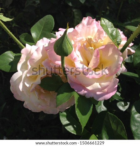 Photo flower bud of a pink rose. Rosebud opened. Beauty yellow Rose with lush petals. Rose growing in garden.