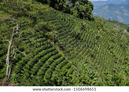 Rural zone. Coffee growing. Coffee plantation. Sunny day, nature context. Colombia #1506698651