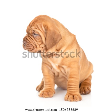 Bordeaux puppy sitting and looking away. isolated on white background #1506756689