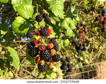 Blackberries growing in an agricultural hedgerow. Small berries ripening in sunlight, native UK species. Autumnal / seasonal ingredient for produce. #1506759668