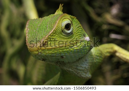 reptile , bronchocela jubata, forest lizard, agamid lizard, macro photography #1506850493