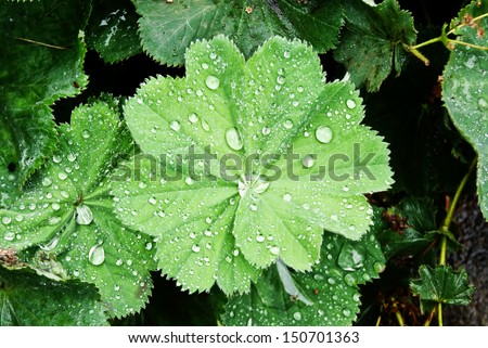 Background with water drops on leaves of Lady's Mantle, top view  #150701363