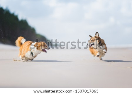 Two welsh corgi pembroke dogs playing on a beach on a sunny day. Funny picture