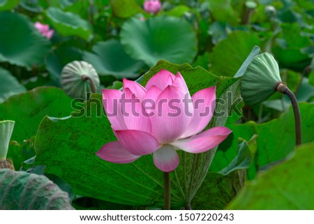 Tropical lotus flower  Beauty in nature #1507220243