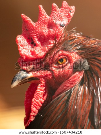 Portrait of a thoroughbred rooster on a farm. #1507434218