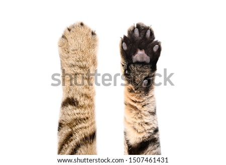 Paws of a cat Scottish Straight, top and bottom view, isolated on white background Royalty-Free Stock Photo #1507461431