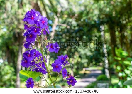 Ponta Delgada/Azores/Portugal - August 13, 2019 Purple flower in a garden in Ponta Delgada #1507488740