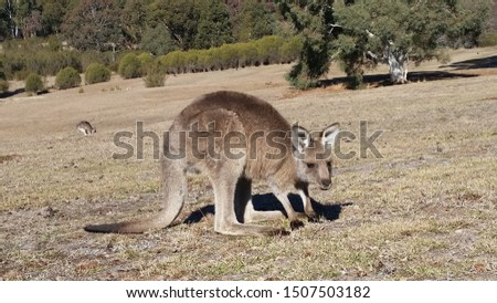 Aussy animals, Australian animals, marsupial animals #1507503182