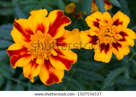 Detail of the Marigold Flower, Tagetes patula   #1507556537