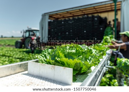 Tractor with production line for harvest lettuce automatically. Lettuce iceberg picking machine on the field in farm. Concept for automatization in the agriculture. #1507750046